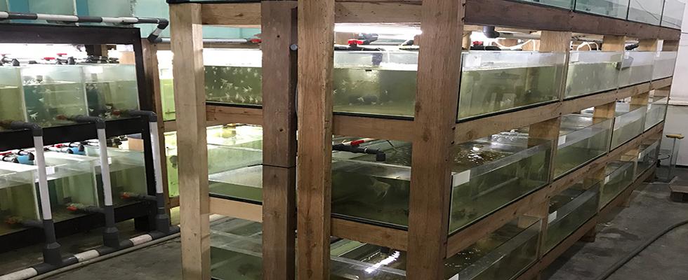 IndoDiscus, Indo Discus, Imp, Ikan Discus, Ikan Lele, Budidaya Ikan Discus, Budidaya Lele, Budidaya Ikan Lele, Lele Bioflok, Lele Bioflog, Lele Kolam Terpal, Probiotik Bioflok, Probiotik Bioflog